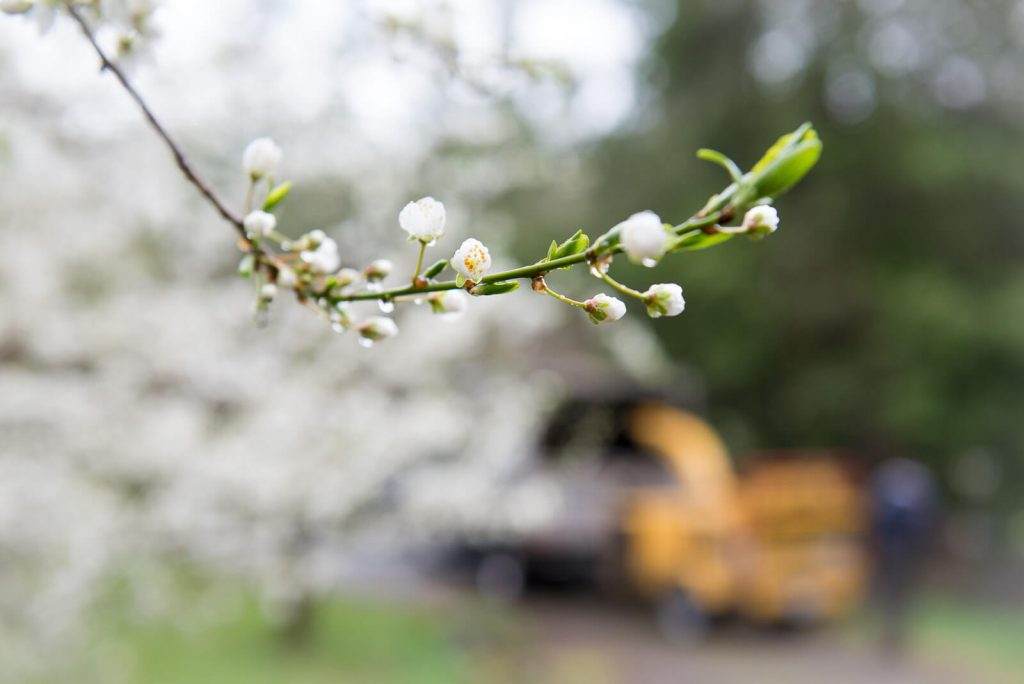 We provide the highest quality fruit tree pruning in Victoria BC.