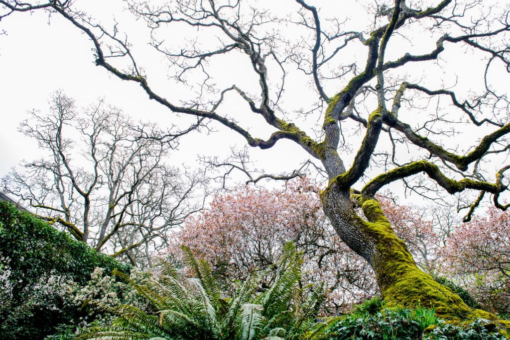 Advantage Tree care specialize in Garry Oak pruning and maintenance in Victoria BC
