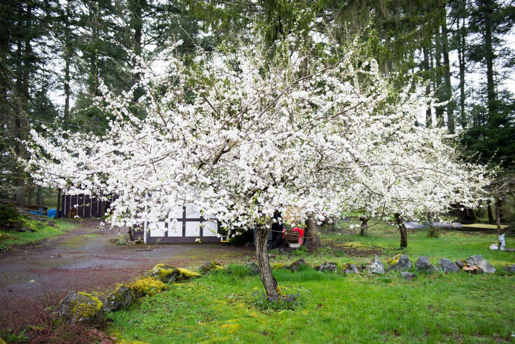 For healthy fruit production annual fruit tree pruning in Victoria BC is necessary